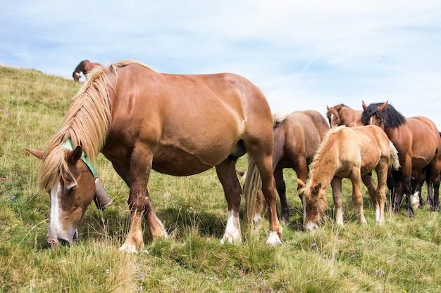 山で一緒に放牧する野生の馬のグループ Premium写真