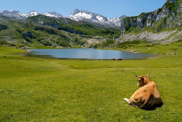 アストゥリアスのエルチーナ湖の草の緑の毛布の上に横たわる牛 Premium写真