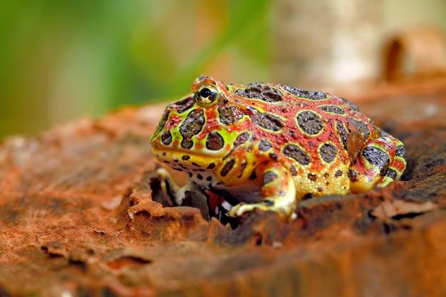 自然環境における高赤華やかなカエル Premium写真