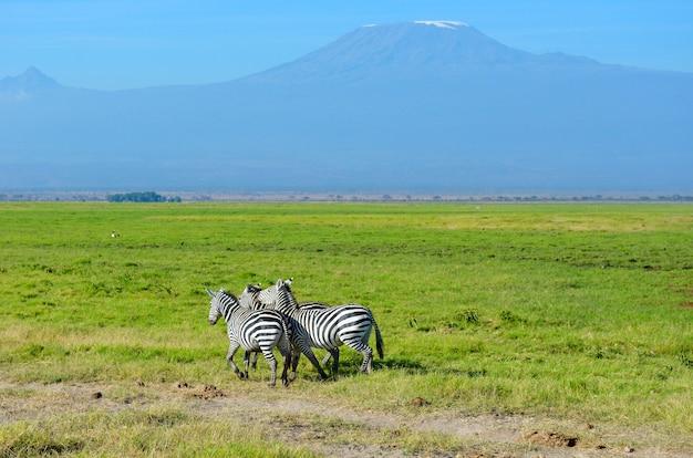 Красивая гора килиманджаро и зебры, кения, национальный парк амбосели, африка Premium Фотографии