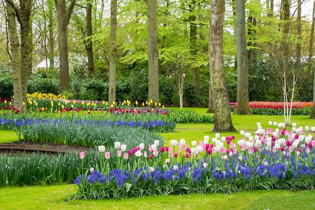 Красивые весенние тюльпаны цветы в парке в нидерландах Premium Фотографии