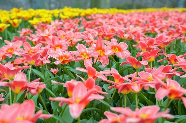 Красивые красочные весенние цветы в парке в нидерландах Premium Фотографии