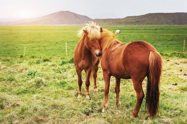 山のある牧草地で魅力的なアイスランドの馬 Premium写真