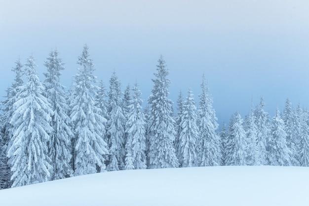 霧の中で凍った冬の森。新鮮な雪で覆われた自然の中の松の木カルパチア、ウクライナ 無料写真