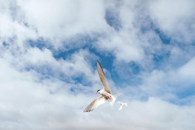 白い背景の青い雲に北極アジサシ Premium写真