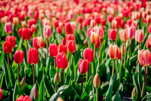 Красивые красные тюльпаны в нидерландах на солнечные весенние дни. Premium Фотографии