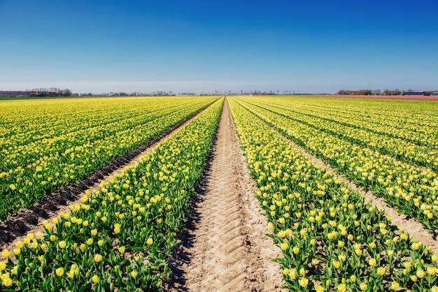 オランダのチューリップ畑。オランダ Premium写真