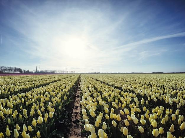 Плантация тюльпанов на ферме в голландии. Premium Фотографии