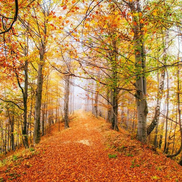 晴れた日に森の美しい景色。秋の風景。カルパチア人。ウクライナ Premium写真