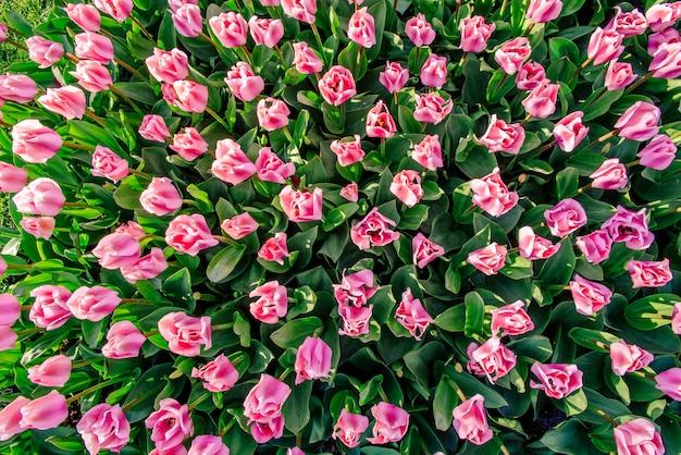 Розовые тюльпаны в голландии Premium Фотографии