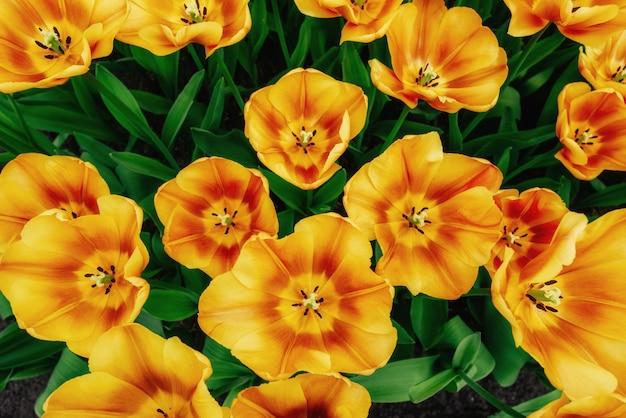 Цветочное поле с красочными тюльпанами. Premium Фотографии