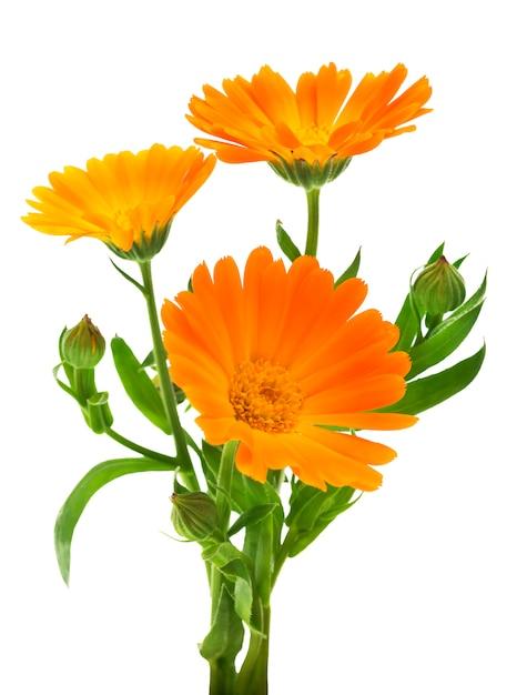 Цветы календулы с листьями Premium Фотографии