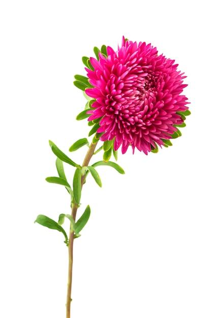 Розовый цветок астры Premium Фотографии