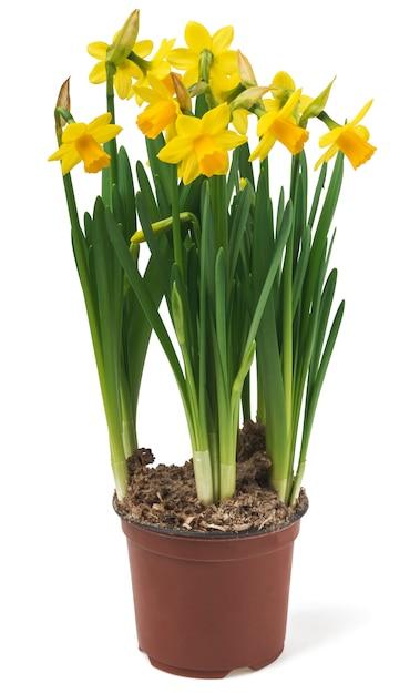 美しい新鮮な水仙の花 Premium写真
