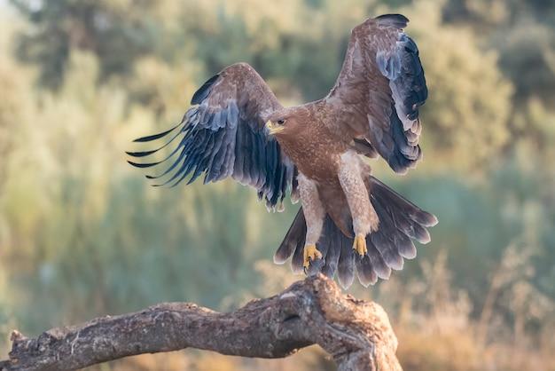 Иберийский имперский орел в полете Premium Фотографии