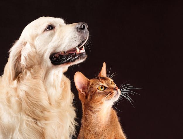 Кошка и собака, абиссинский котенок, золотистый ретривер смотрит справа Premium Фотографии