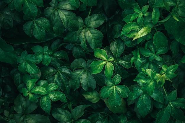 テクスチャ、抽象的なパターン、自然の背景に雨水と濃い緑の熱帯の葉の紅葉します。 Premium写真