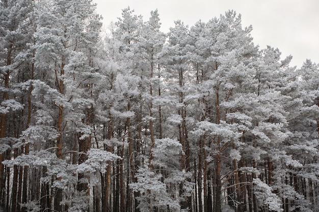 雪に覆われた松の木のてっぺん Premium写真