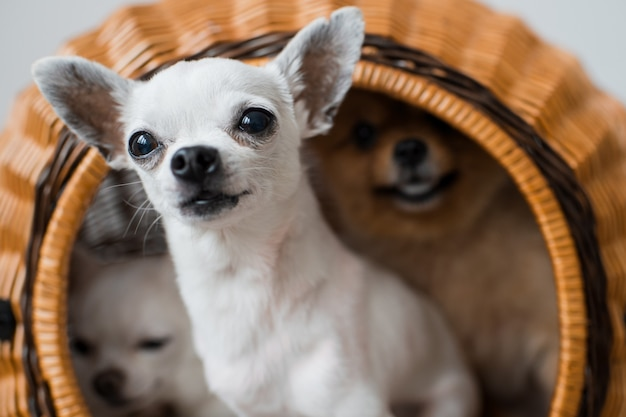 Два милых и милых щенка чихуахуа и пушистый поморский щенок сидят в плетеной будке и выглядывают из нее со смешными эмоциональными лицами Premium Фотографии