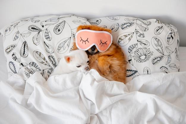 ベッドで寝ているチワハ Premium写真