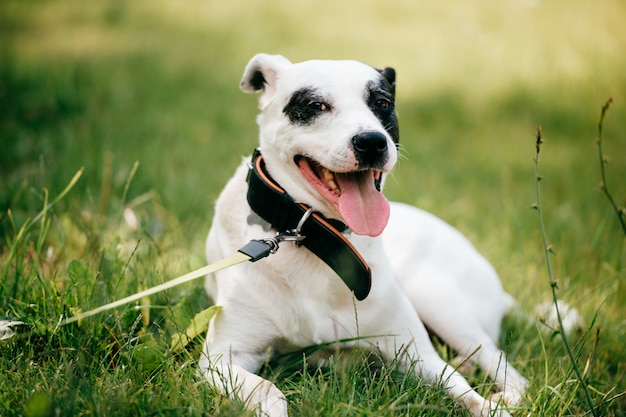 Собака - верный друг человека. большой очаровательны щенка с смешной мордой и добрыми глазами, расслабляющий на зеленой траве на поле. Premium Фотографии