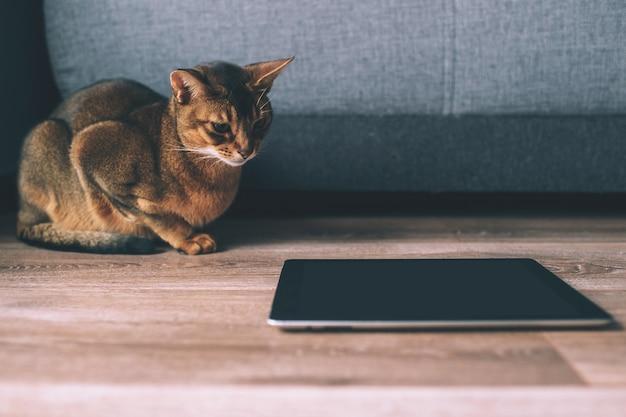 タブレット画面で見ているアビシニアンの猫。自宅で素敵な遊び心のある子猫。 Premium写真