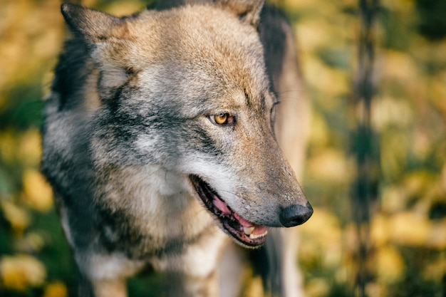 Открытый волчий портрет. дикий хищник-хищник на природе после охоты. опасное пушистое животное в европейском лесу. бедная одинокая собачья мордашка в зоопарке. Premium Фотографии