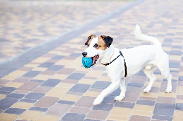 Чистокровный джек рассел терьер собака работает на открытом воздухе. счастливая собака в парке на прогулке играет с игрушкой. концепция доверия и дружбы домашних животных. активная собака играет на улице. копировать пространство Premium Фотографии