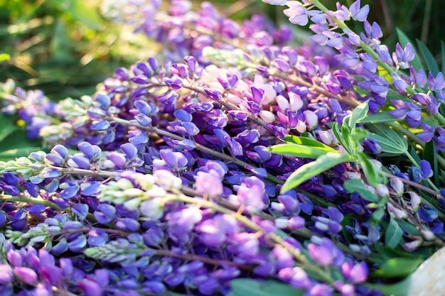 Люпин, люпин, люпин поле с розовыми фиолетовыми и синими цветами. куча люпин летом цветок стены. цветущие цветы люпина. поле люпина. фиолетовые весенние и летние цветы. концепция природы Premium Фотографии