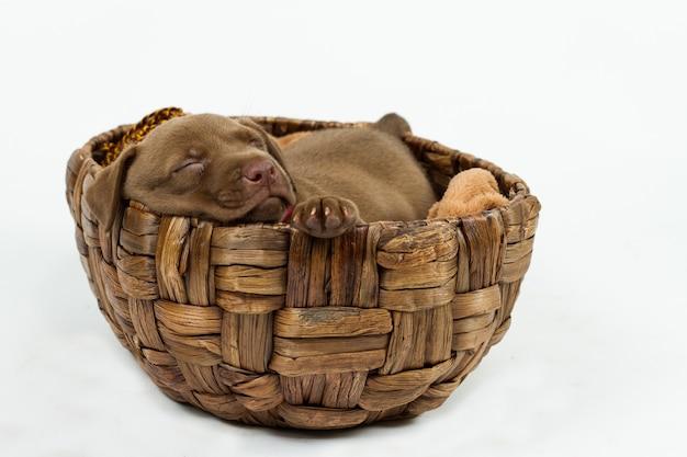 枝編み細工品バスケットで眠っているかわいい子犬 Premium写真