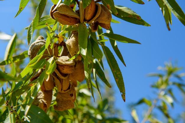 Спелый миндаль на ветке дерева с зелеными листьями, крупным планом Premium Фотографии