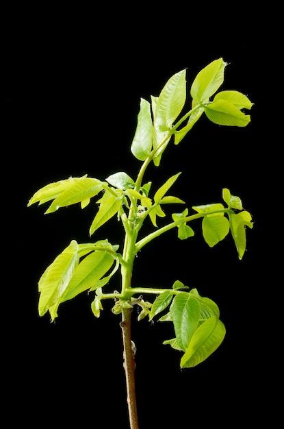 Зеленые листья и маленькие цветки грецкого ореха. Premium Фотографии