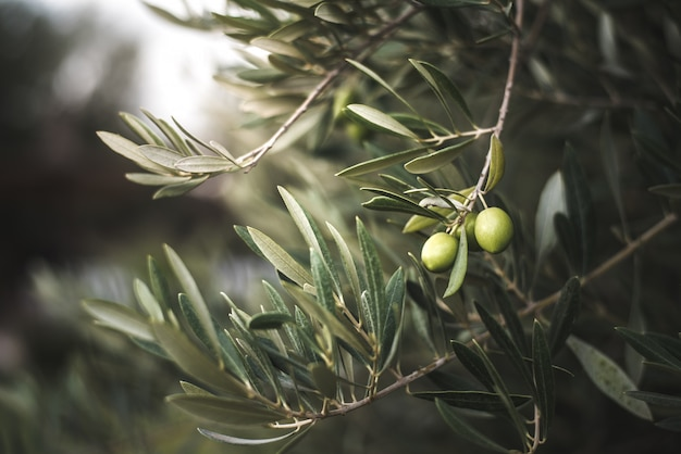 Зеленое оливковое дерево в марокко Premium Фотографии