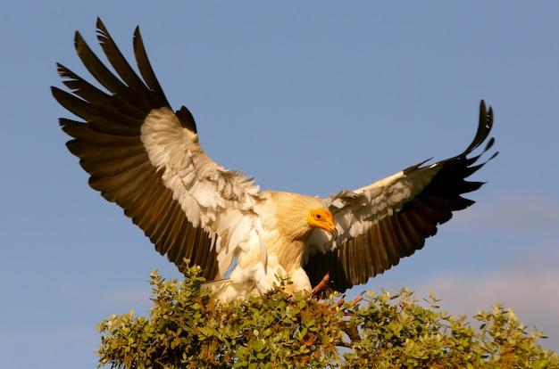 エジプトのハゲタカの大人の飛行 Premium写真