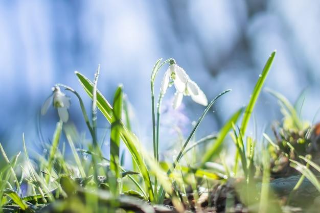 Галантус, подснежник. свежие весенние цветы подснежника. подснежники на прошлогодней желтой листве. цветок подснежник крупным планом. Premium Фотографии