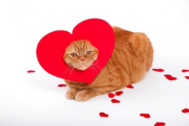 イギリス猫、ポートレート猫、バレンタインデー、ハート Premium写真