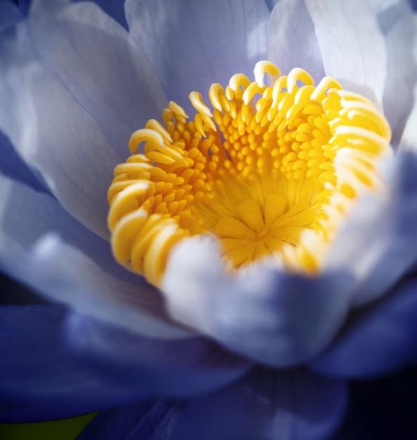 美しい紫色のスイレンの花(ハスの花)、正方形の形式。 Premium写真