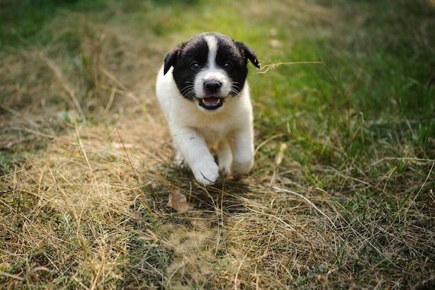 緑と乾いた草で実行されているかわいい子犬 Premium写真