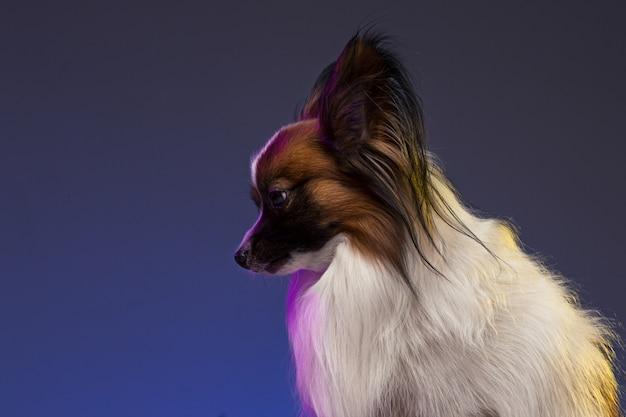 小さなあくび子犬パピヨンのスタジオポートレート 無料写真