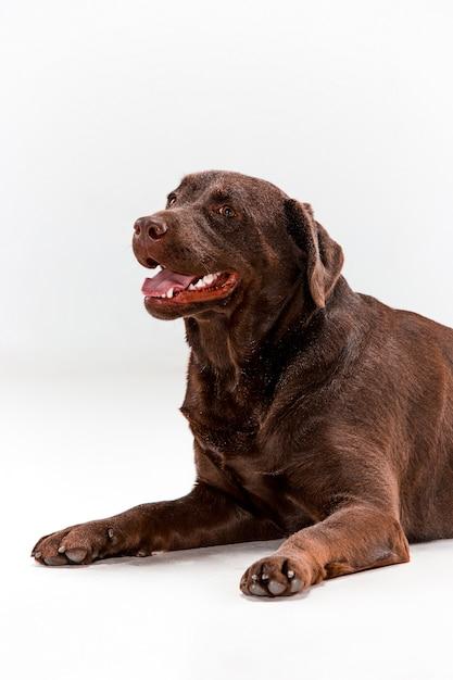 茶色のラブラドル・レトリーバー犬のポーズ 無料写真