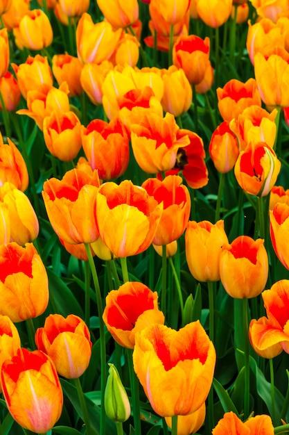 チューリップの花畑 無料写真