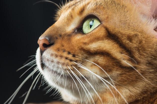 金のベンガル猫 無料写真