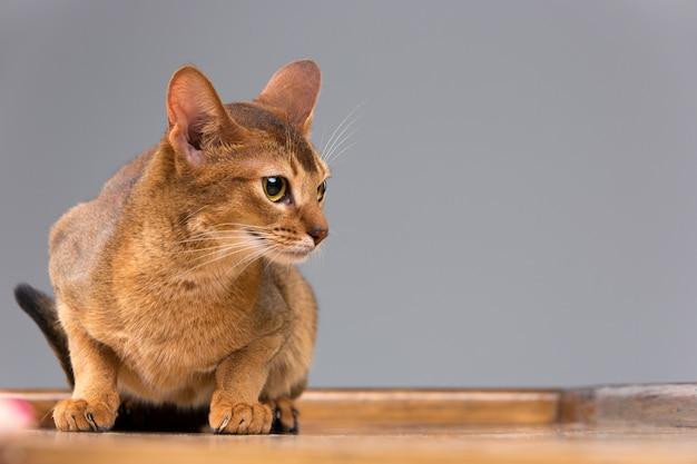 純血種のアビシニアンの若い猫の肖像画 無料写真