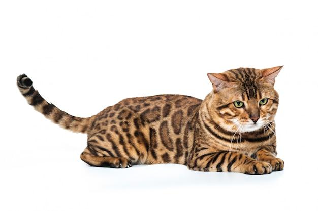Золотой бенгальский кот на белом Бесплатные Фотографии