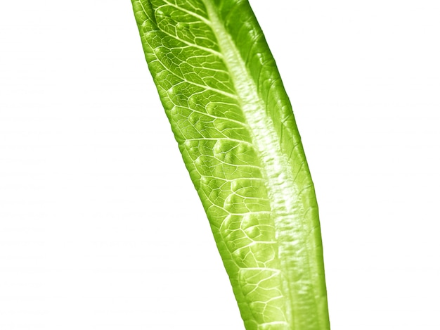 Салат из зеленых листьев на белом фоне Бесплатные Фотографии
