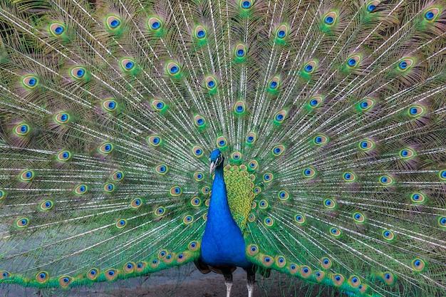 色とりどりの羽を持つ孔雀 無料写真