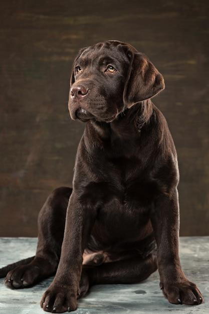 暗い背景に黒のラブラドール犬。 無料写真