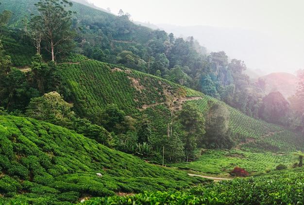 キャメロンハイランドのマレーシア茶畑 Premium写真