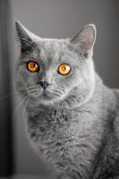 美しいイギリス灰色猫、クローズアップの肖像画 Premium写真