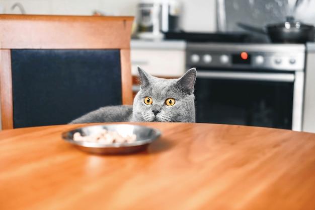 猫は食べ物を見ています、猫は食べ物を見守っています、陰険な美しい英国灰色猫、クローズアップ、猫はテーブルの下から外を見て Premium写真